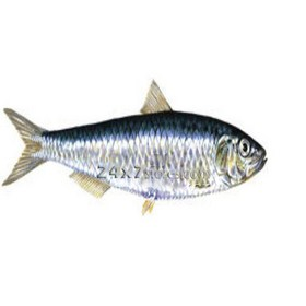 Fresh Sardine Fish Large